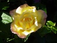 yellow-rose-2-in-my-garden