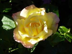 Rose. my favourite yellow rose.
